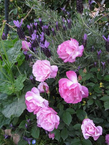 バラの季節_e0110038_220336.jpg