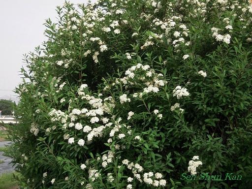 賀茂川の花 黄菖蒲と青鷺_a0164068_22303778.jpg