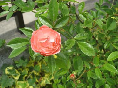 *薔  薇*_b0188695_13494437.jpg