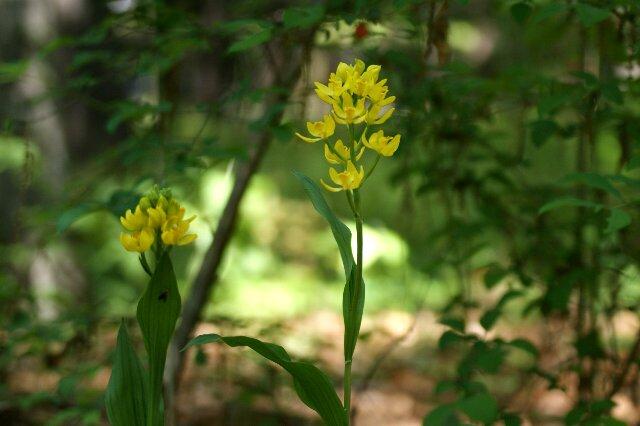 雑木林の中で可愛い花が金色に輝いて・・・_a0122932_2240679.jpg