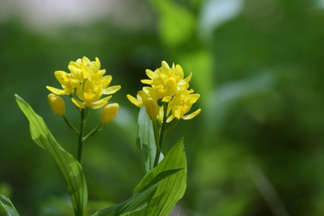 雑木林の中で可愛い花が金色に輝いて・・・_a0122932_22414019.jpg