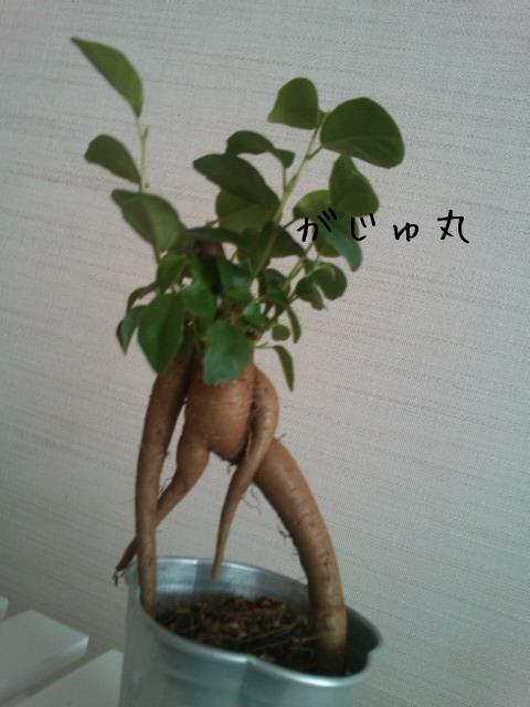 命名「がじゅ丸」_d0165645_1836418.jpg