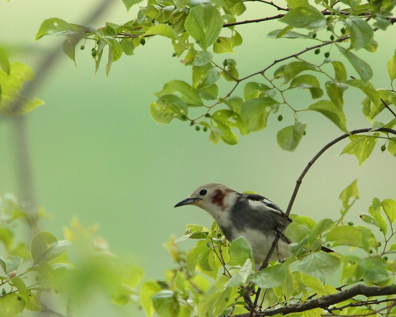 野鳥の雛たちが巣立ちの季節を迎えています。_f0105570_2224510.jpg