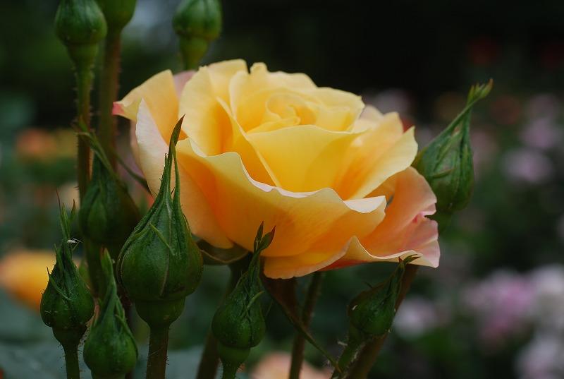 薔薇の季節_c0187781_0115040.jpg
