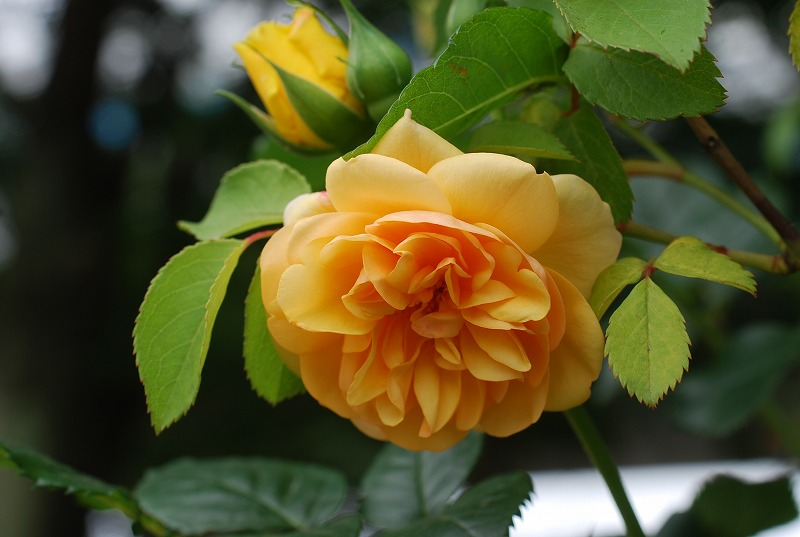 薔薇の季節_c0187781_013012.jpg