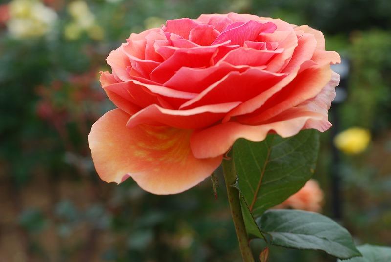 薔薇の季節_c0187781_0132769.jpg