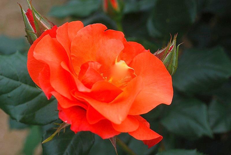 薔薇の季節_c0187781_0135339.jpg