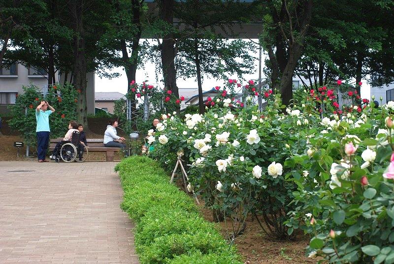 薔薇の季節_c0187781_0141743.jpg