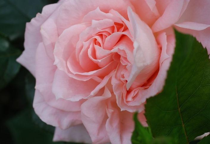 薔薇の季節_c0187781_0155760.jpg