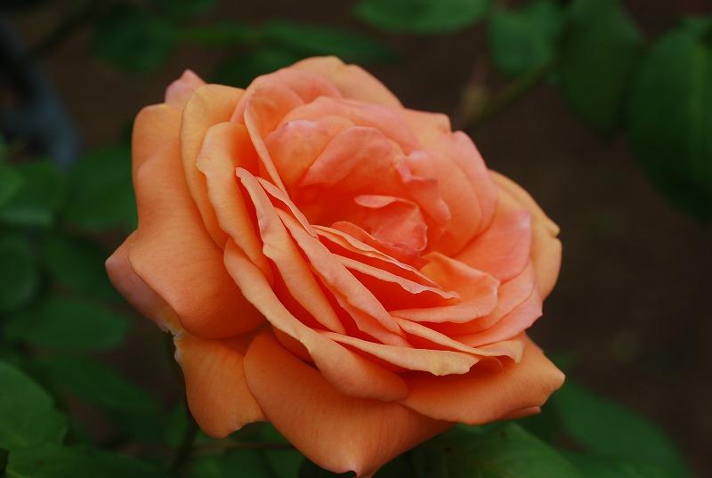薔薇の季節_c0187781_0163837.jpg