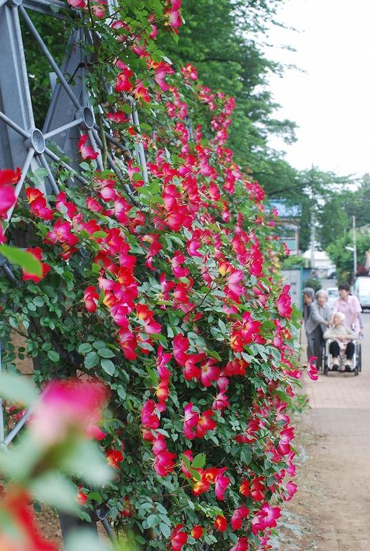 薔薇の季節_c0187781_016562.jpg