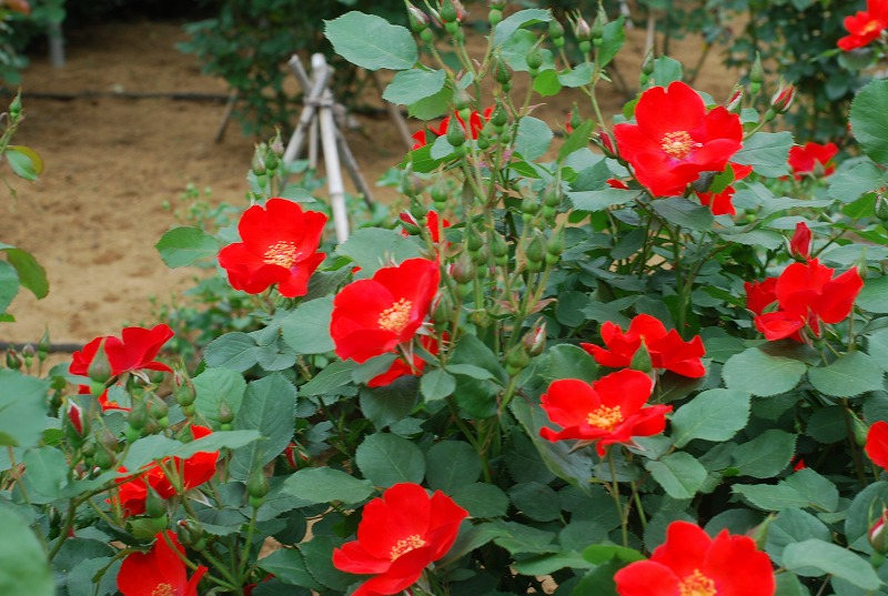 薔薇の季節_c0187781_064197.jpg