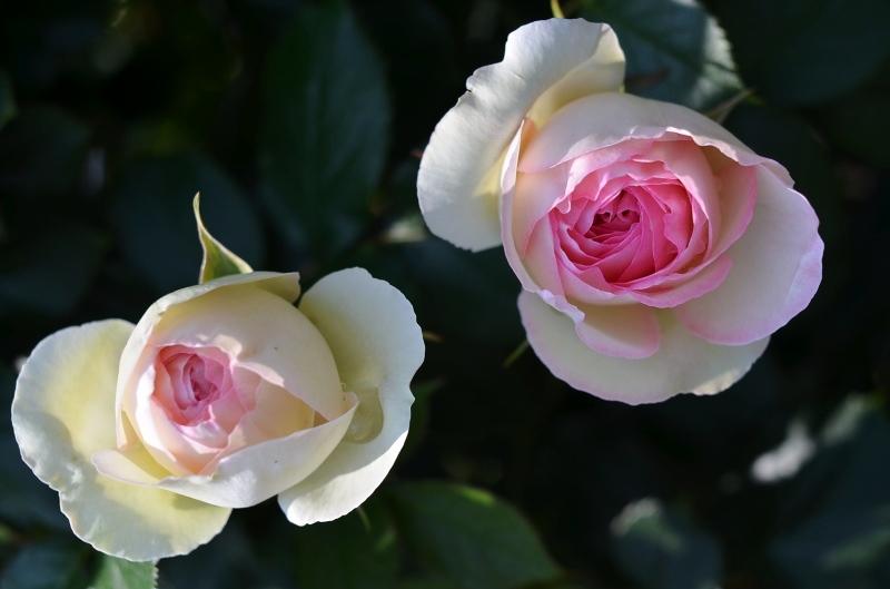 The rose_d0065116_20313117.jpg