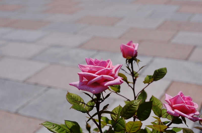 The rose_d0065116_20322083.jpg