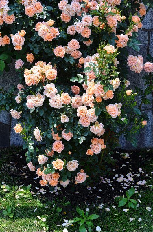 The rose_d0065116_20332040.jpg