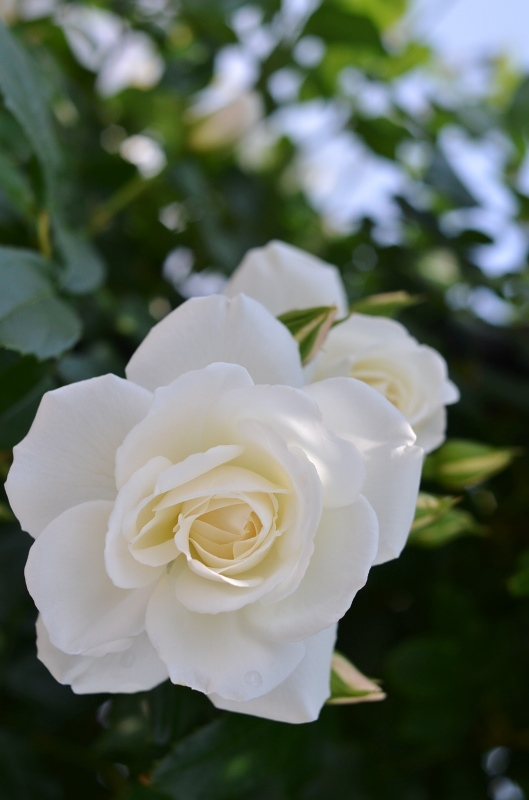 The rose_d0065116_2033647.jpg