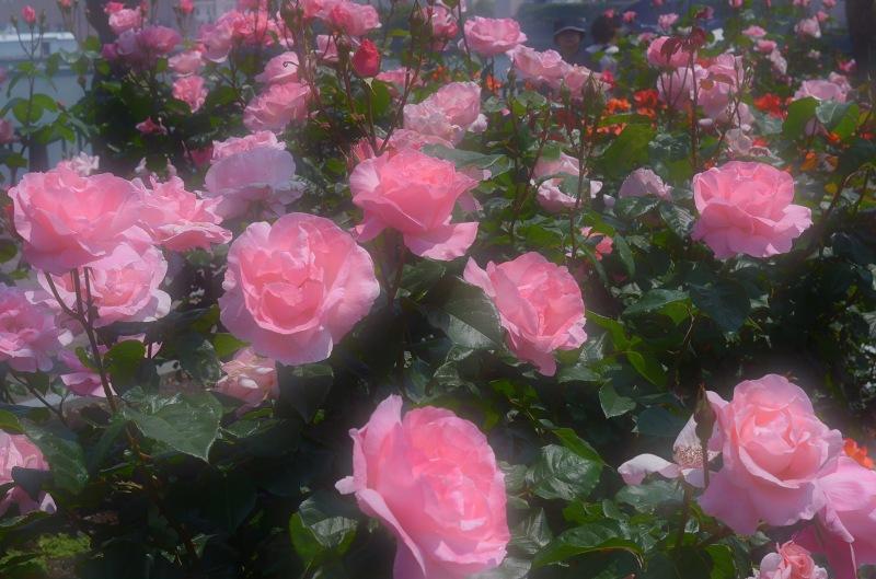 The rose_d0065116_20342996.jpg