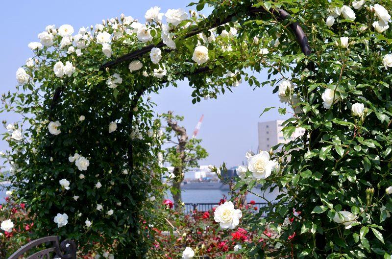 The rose_d0065116_20544195.jpg