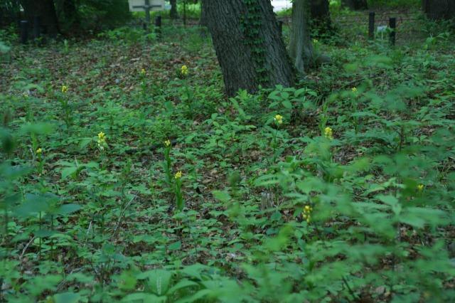 雑木林の中で可愛い花が金色に輝いて・・・_a0122932_18151299.jpg