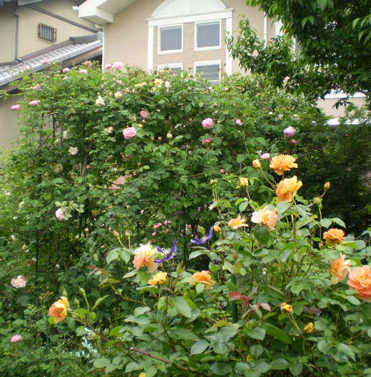 たおやかに輝くバラ庭!_f0139333_143780.jpg