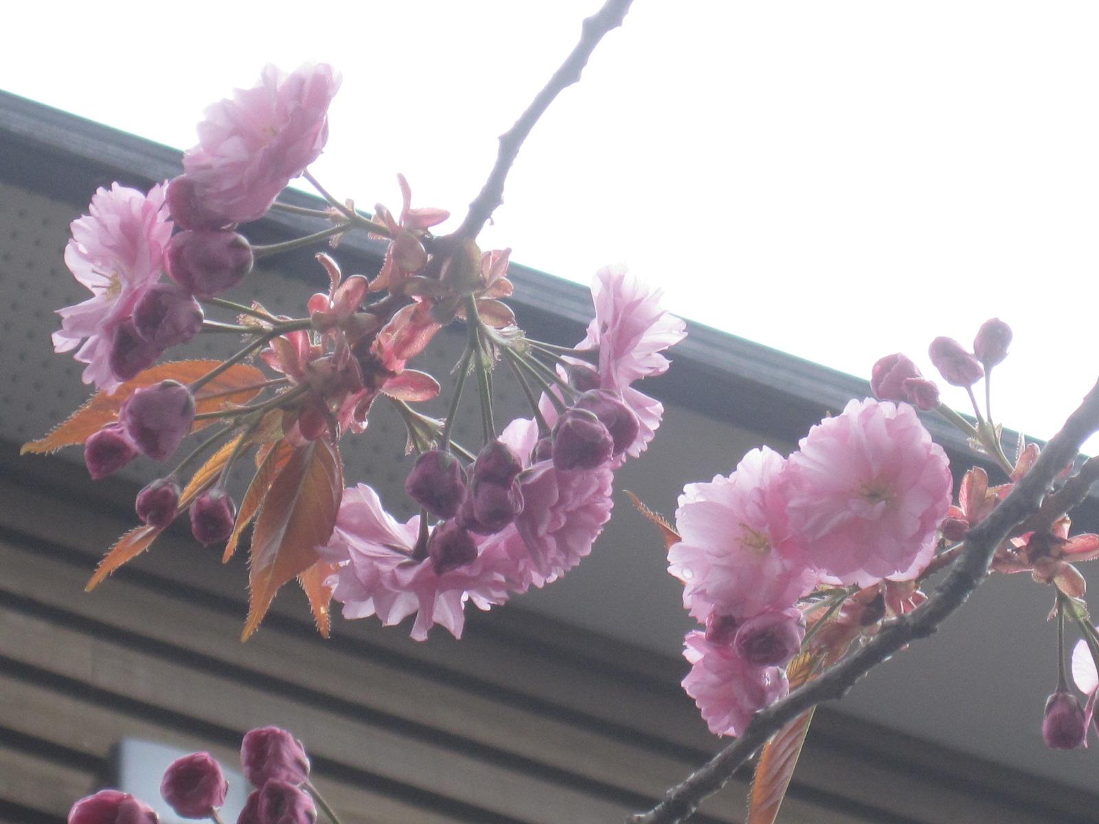 八重桜が開花・・・_f0202703_113620100.jpg