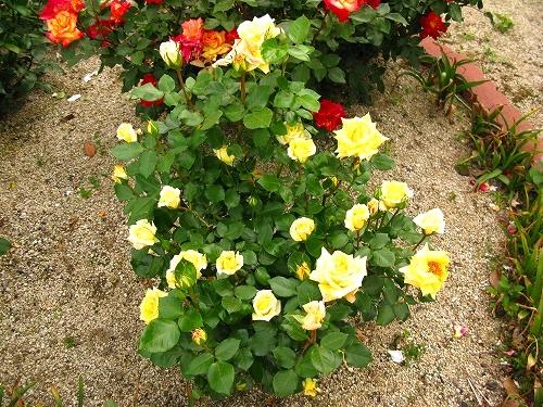 今日のバラ「ゴールデン・ウェディング」_e0072023_19393474.jpg