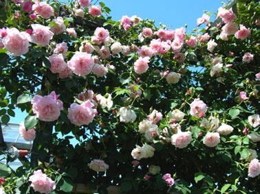 初夏の薔薇_a0111125_15135252.jpg