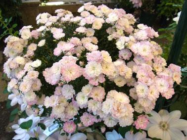 初夏の薔薇_a0111125_15145748.jpg