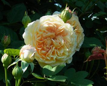 初夏の薔薇_a0111125_15151158.jpg