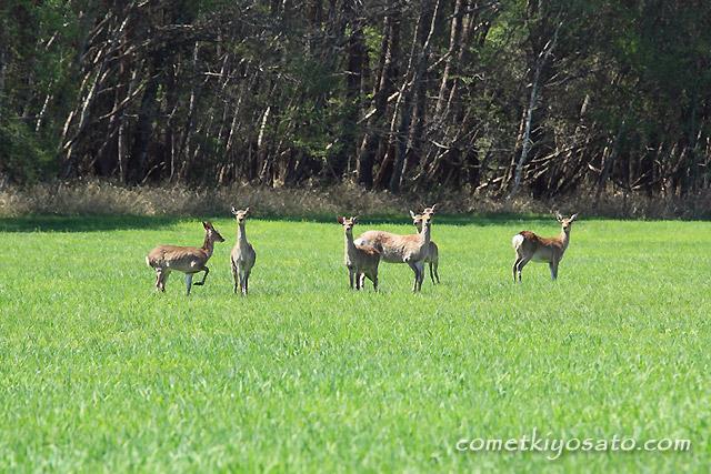 春でも鹿・・・出ています。_b0179231_2058275.jpg