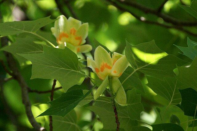 とても高い木の上で☆ユリノキ(5/22 画像差し替え)_a0122932_227248.jpg