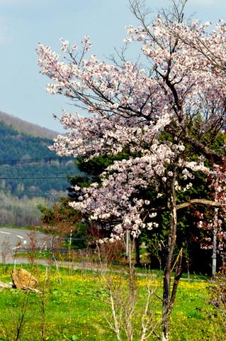 北海道は今、梅にウグイス。_b0165760_19503351.jpg