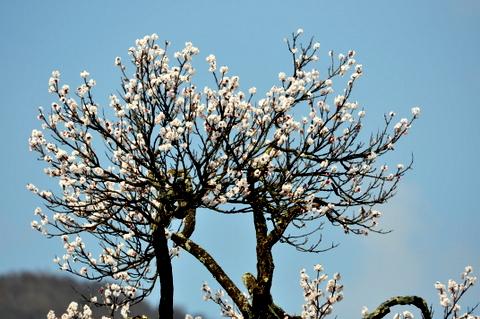 北海道は今、梅にウグイス。_b0165760_19553073.jpg