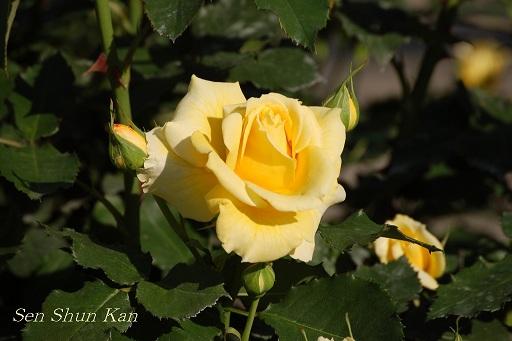京都府立植物園のバラ (2011年5月)_a0164068_105818.jpg