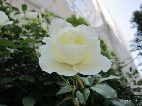 薔薇巡り。_f0071480_1813586.jpg