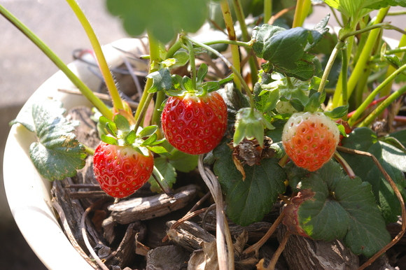 small harvest on balcony: ベランダの小さな収穫_a0186568_2230531.jpg