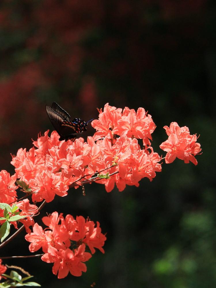 ミヤマカラスアゲハ  散々撮影を邪魔されました。  2011.5.15埼玉県_a0146869_2332343.jpg