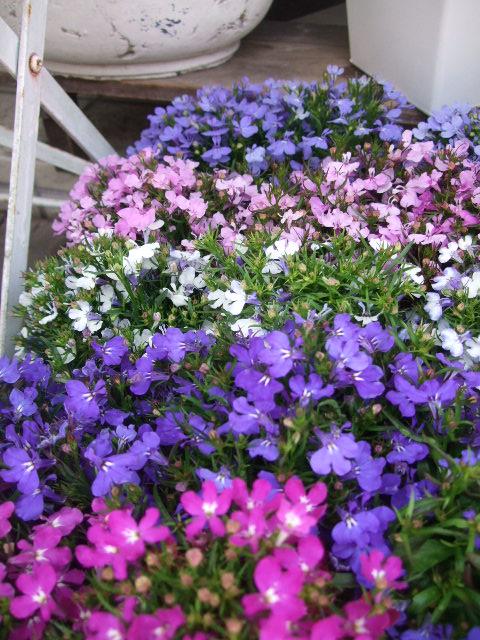 オークリーフ(5月の花はいいですね・・)_f0049672_18324685.jpg
