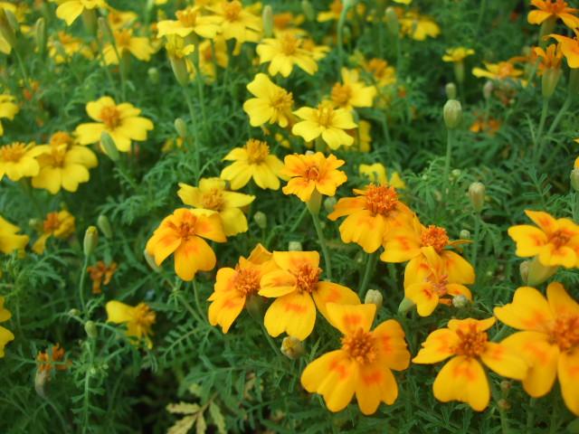 オークリーフ(5月の花はいいですね・・)_f0049672_18325599.jpg