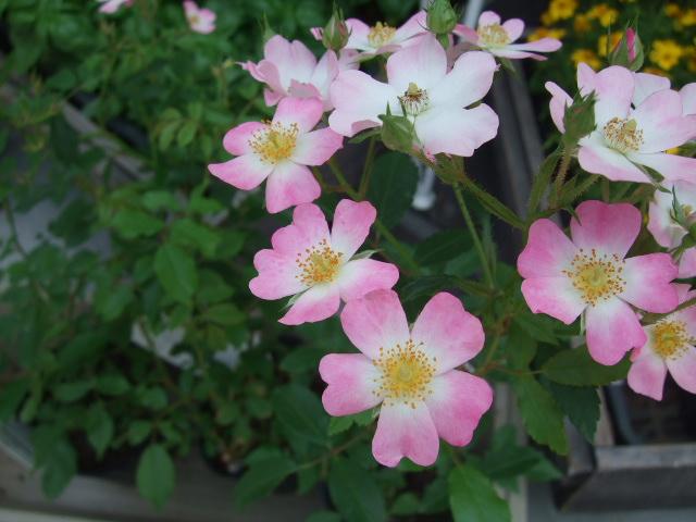 オークリーフ(5月の花はいいですね・・)_f0049672_18341627.jpg