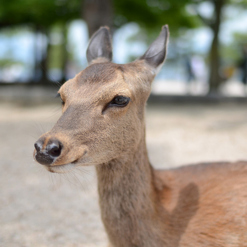 宮島の鹿_f0099102_0315335.jpg