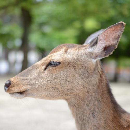 宮島の鹿_f0099102_032643.jpg
