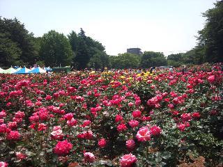 与野公園バラ祭_d0099708_519287.jpg