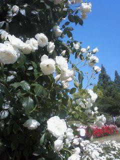 薔薇の妖精☆靫公園_a0088827_2112543.jpg