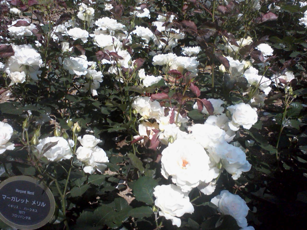 薔薇の妖精☆靫公園_a0088827_2112577.jpg