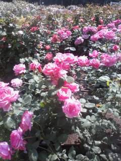 薔薇の妖精☆靫公園_a0088827_2112597.jpg