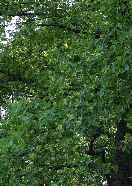 とても高い木の上で☆ユリノキ(5/22 画像差し替え)_a0122932_9243147.jpg
