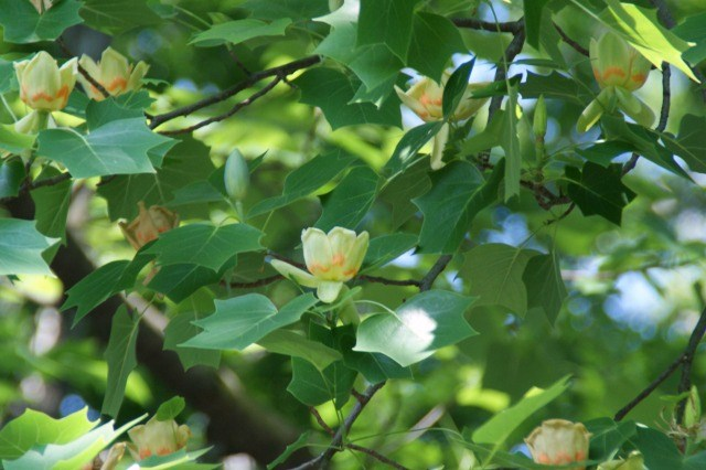 とても高い木の上で☆ユリノキ(5/22 画像差し替え)_a0122932_9255177.jpg