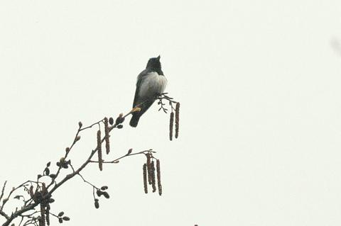 日本3大鳴鳥!コマドリ・オオルリ!_b0165760_12542826.jpg