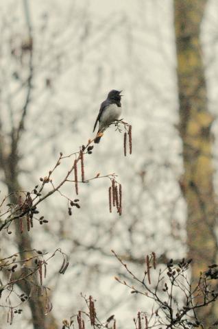 日本3大鳴鳥!コマドリ・オオルリ!_b0165760_1255570.jpg